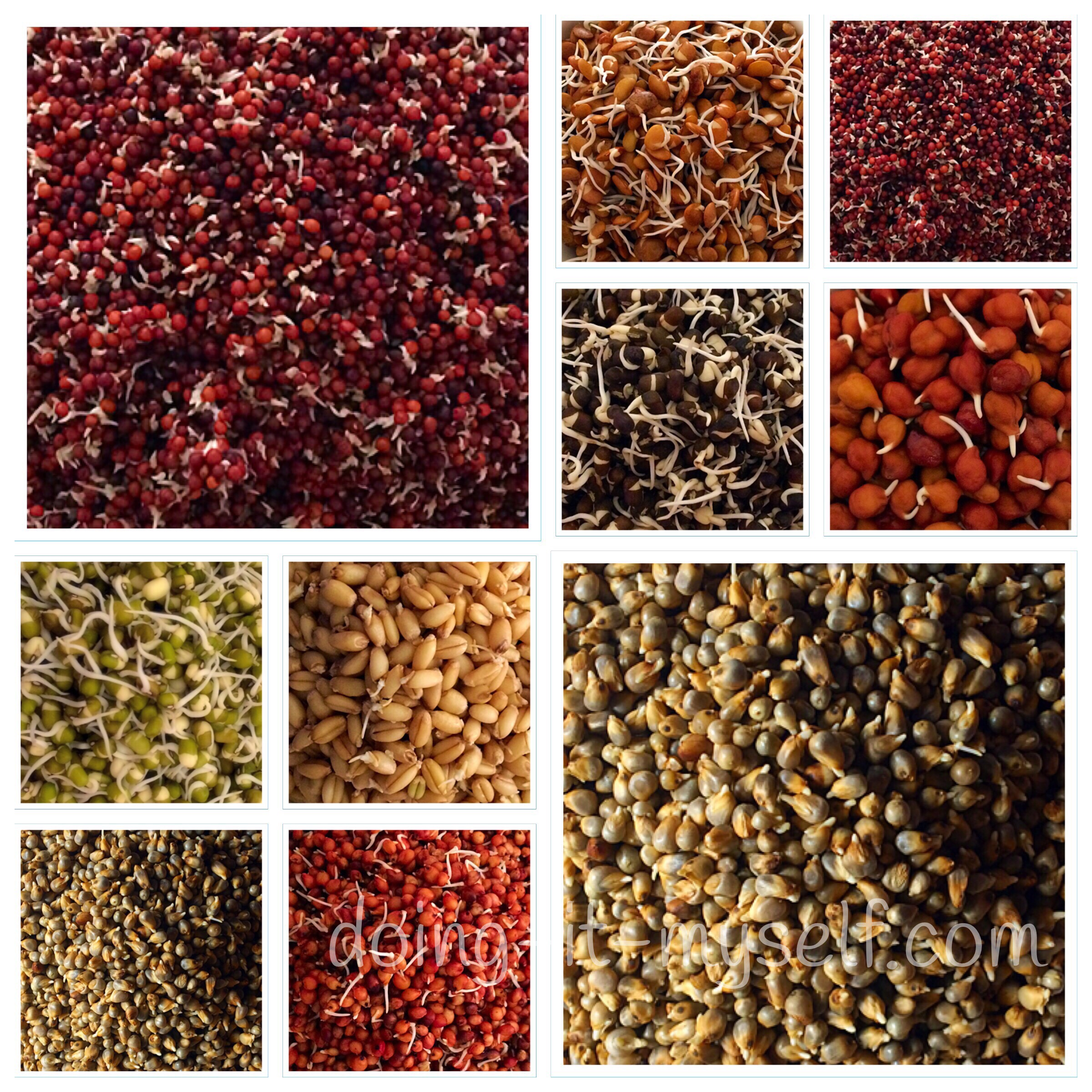 how-sprouts-look-finger millets-horse gram-chick peas- black gram- green gram- wheat- pearl millets-sorghum